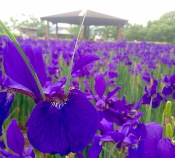 hayamizu-lilies1.jpg
